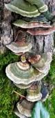 Green polypores on a stump.